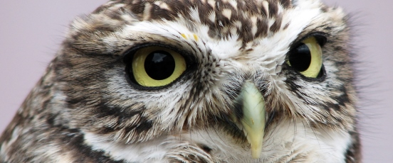 Burrowing Owl Population Monitoring Program banner photo